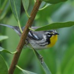 yellow throated warbler by carol tuskey